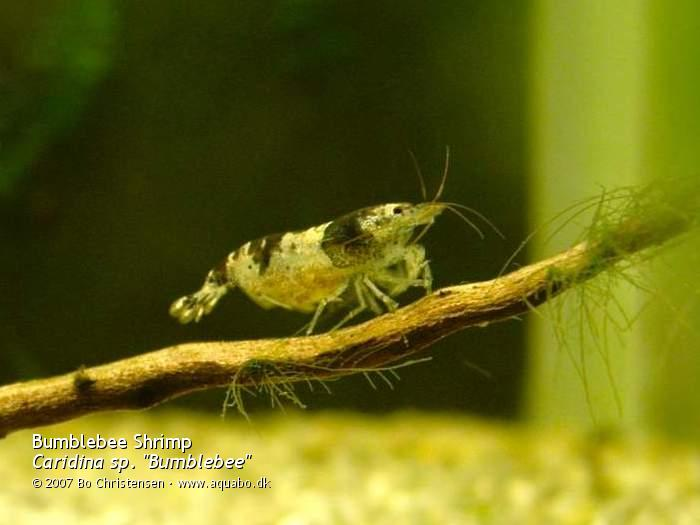 Image: Caridina cf. breviata - Ready to hatch. Female with almost developed eggs.