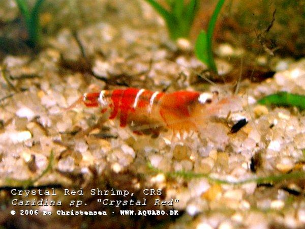 "Image: Caridina sp. ""Crystal Red"" - Female number 2 with eggs. Day 2."