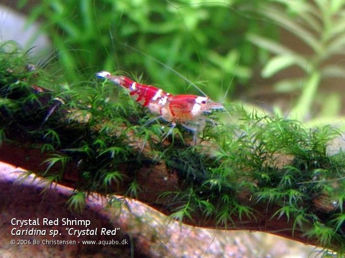 "Image: Caridina sp. ""Crystal Red"" - Cleaning moss. CRS on Fissidens sp. moss"