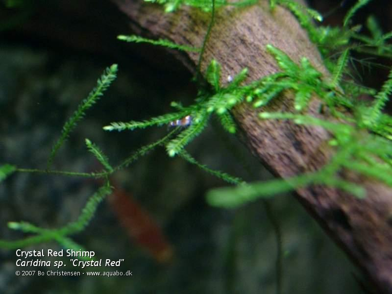 "Image: Caridina sp. ""Crystal Red"" - New born. 1 day old 3 millimeter long shrimplet."