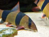 Click to see large image: Clown Loaches