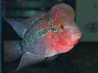 Click to see large image: Flowerhorn