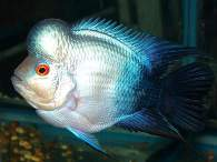 Click to see large image: Blue Flowerhorn