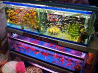 Click to see large image: Barbs, Cichlids and Goldfish