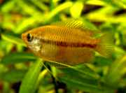 Colisa chuna, Honey Gourami